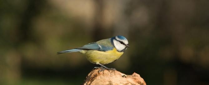 photo d'une mésange bleue