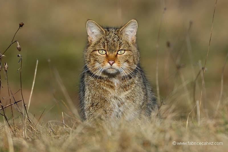 Tigre des Vosges